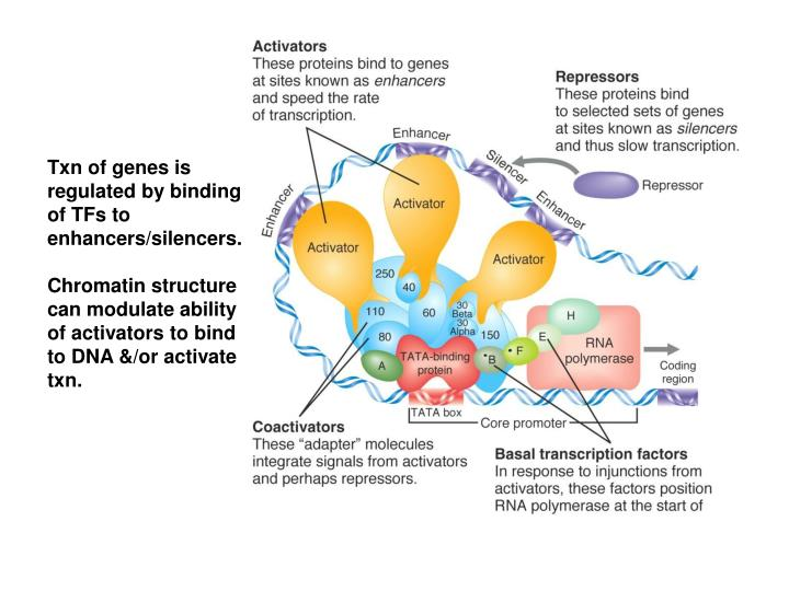 Txn of genes is regulated by binding of TFs to enhancers/silencers.