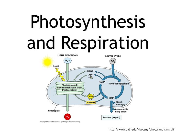 photosynthesis and respiration n.