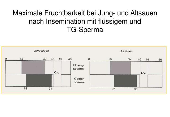 Maximale Fruchtbarkeit bei Jung- und Altsauen nach Insemination mit flüssigem und