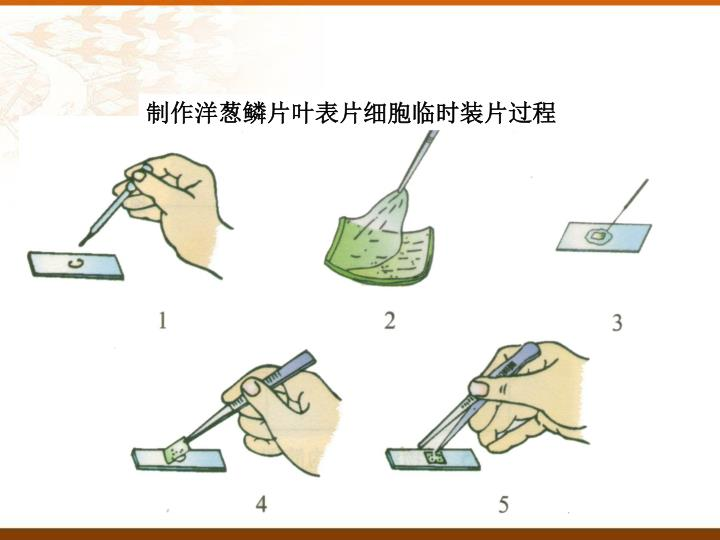 制作洋葱鳞片叶表片细胞临时装片过程