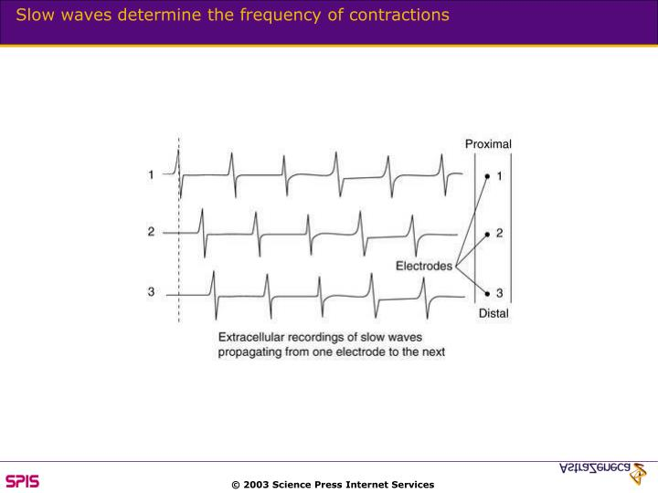 Slow waves determine the frequency of contractions