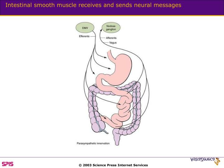 Intestinal smooth muscle receives and sends neural messages