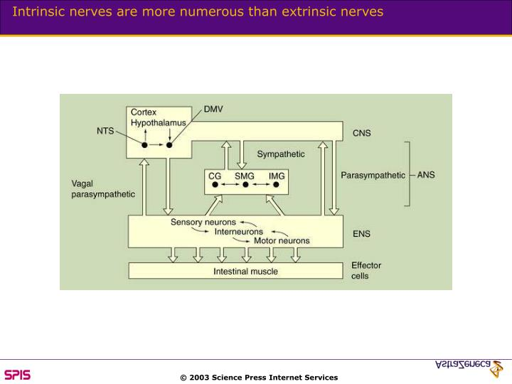 Intrinsic nerves are more numerous than extrinsic nerves