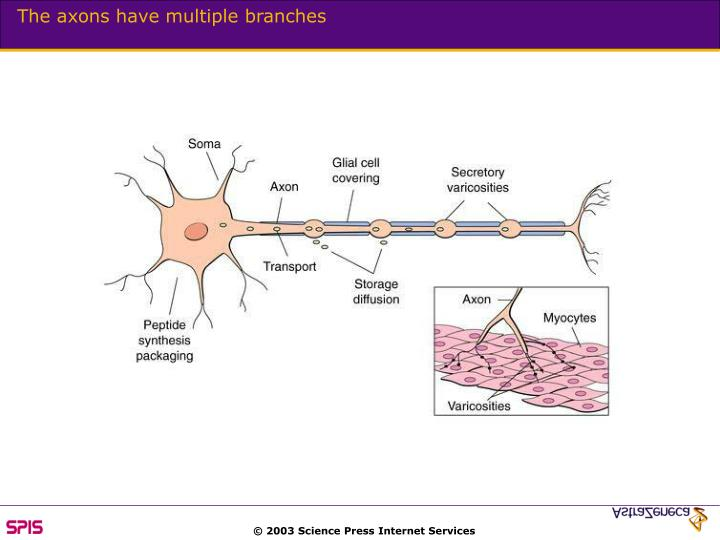 The axons have multiple branches