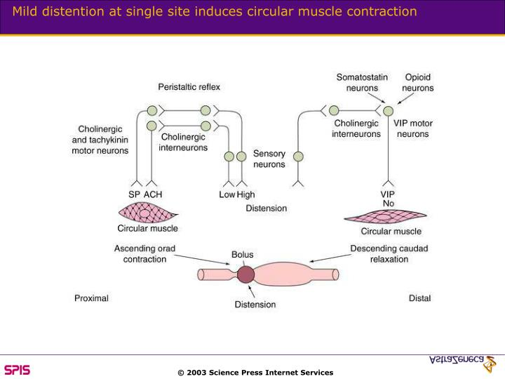Mild distention at single site induces circular muscle contraction