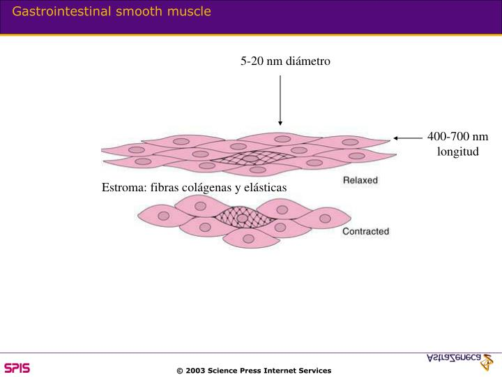 Gastrointestinal smooth muscle