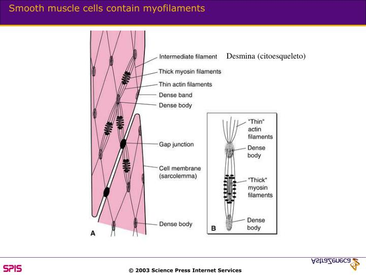 Smooth muscle cells contain myofilaments