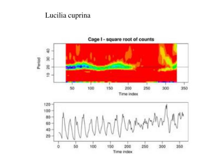 Lucilia cuprina