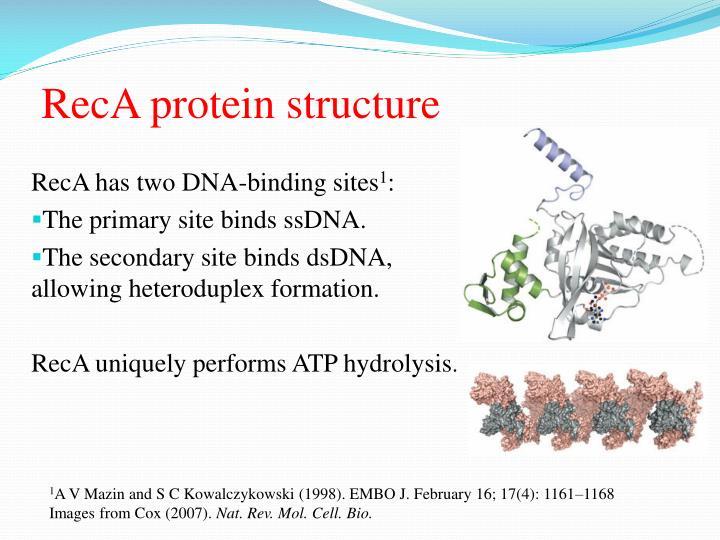 Reca protein structure