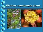 ricinus communis plant