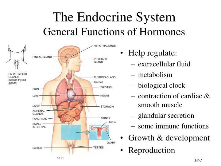 Ppt the endocrine system general functions of hormones powerpoint the endocrine system general functions of hormones toneelgroepblik Gallery