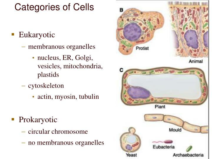 Categories of Cells