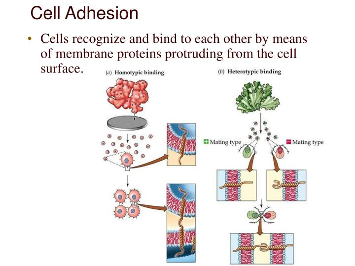 Cell Adhesion