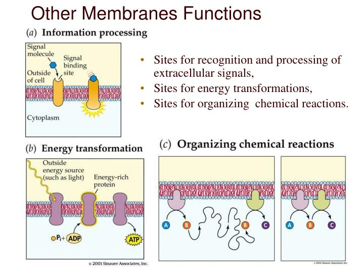 Other Membranes Functions