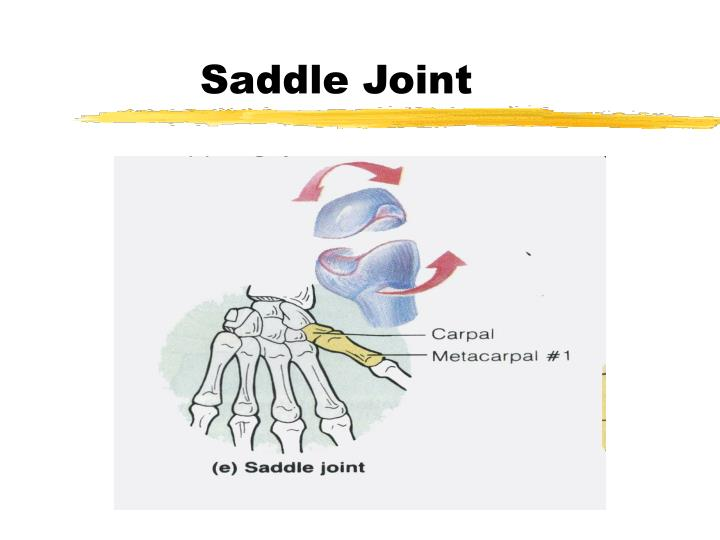 Saddle Joint