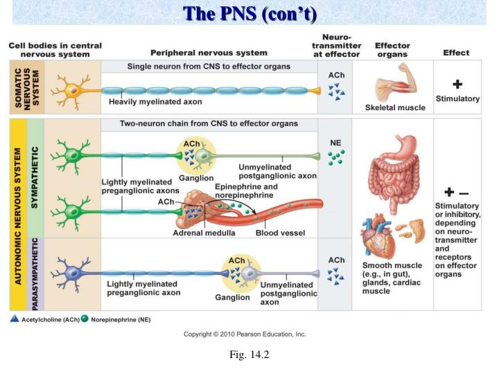 The PNS (