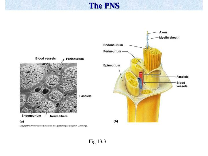 The pns1