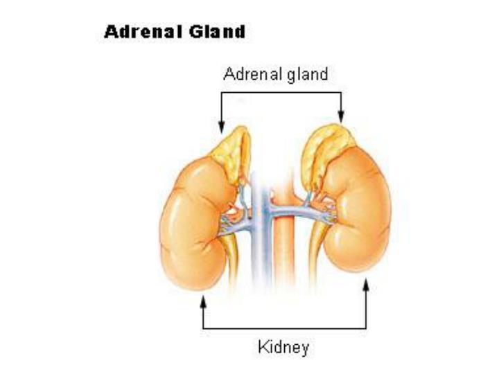 Adrenal gland sympathoadrenal system