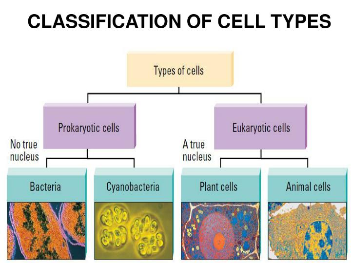 CLASSIFICATION OF CELL TYPES