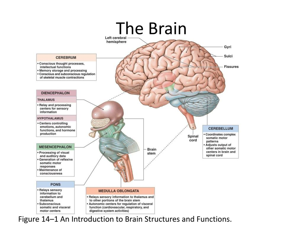PPT - The Brain PowerPoint Presentation, free download ...
