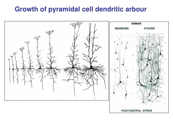 Growth of pyramidal cell dendritic arbour