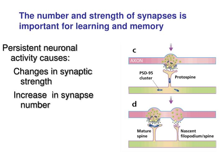 Persistent neuronal activity causes: