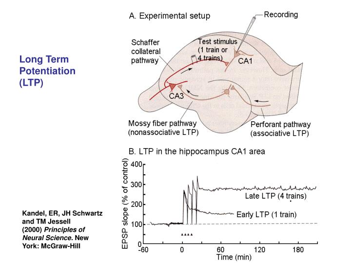 Long Term Potentiation (LTP)