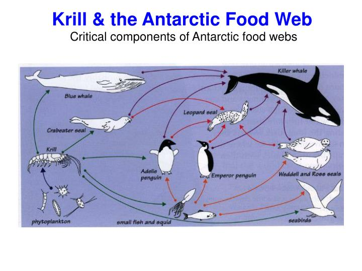 Krill & the Antarctic Food Web