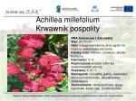 achillea millefolium krwawnik pospolity