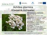 achillea ptarmica krwawnik kichawiec