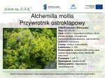 alchemilla mollis przywrotnik ostroklapowy