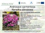androsace sarmentosa naradka odro lowa