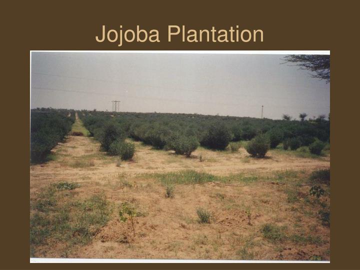 Jojoba Plantation