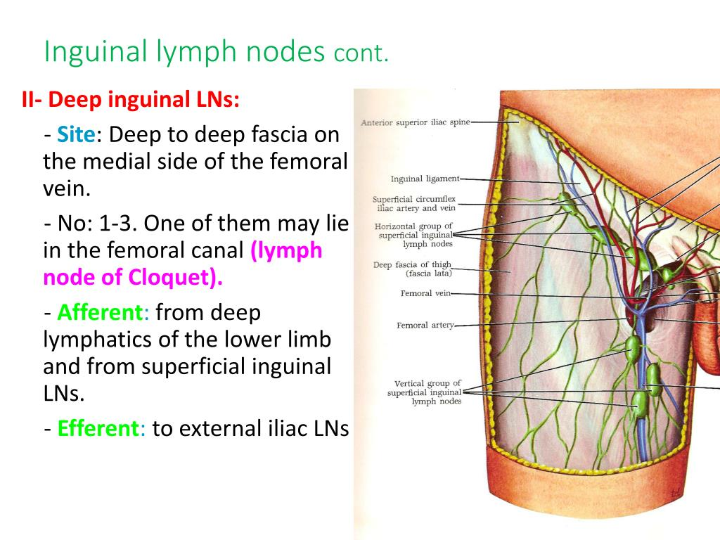 PPT - Lymphatic System and Axillary Lymph Nodes PowerPoint