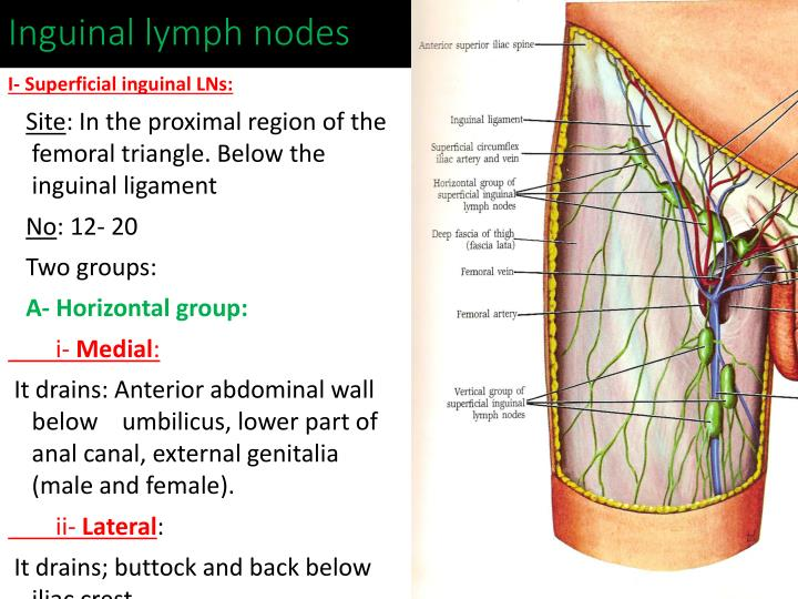 Ppt Lymphatic System And Axillary Lymph Nodes Powerpoint