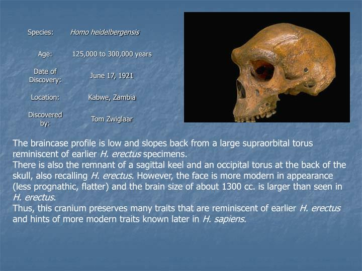 The braincase profile is low and slopes back from a large supraorbital torus reminiscent of earlier
