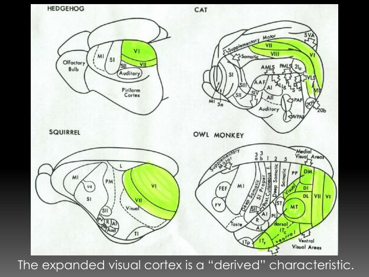 """The expanded visual cortex is a """"derived"""" characteristic."""