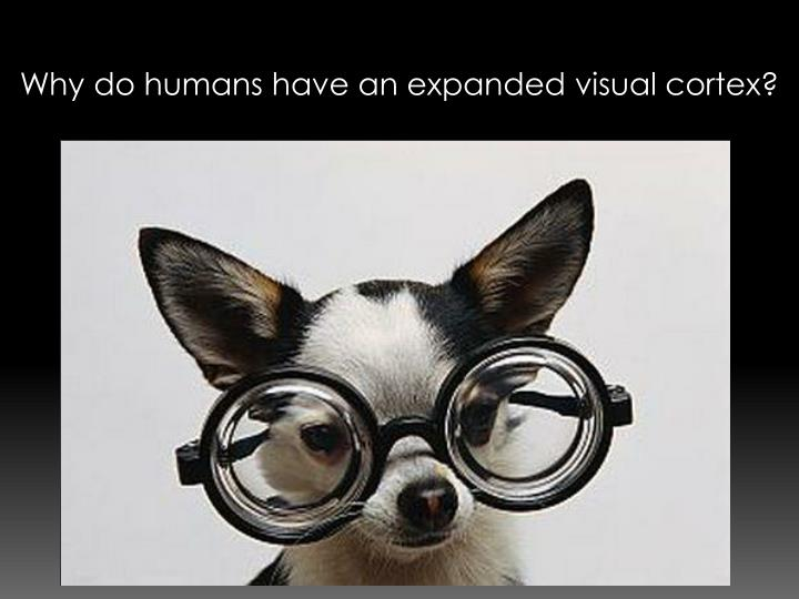 Why do humans have an expanded visual cortex?