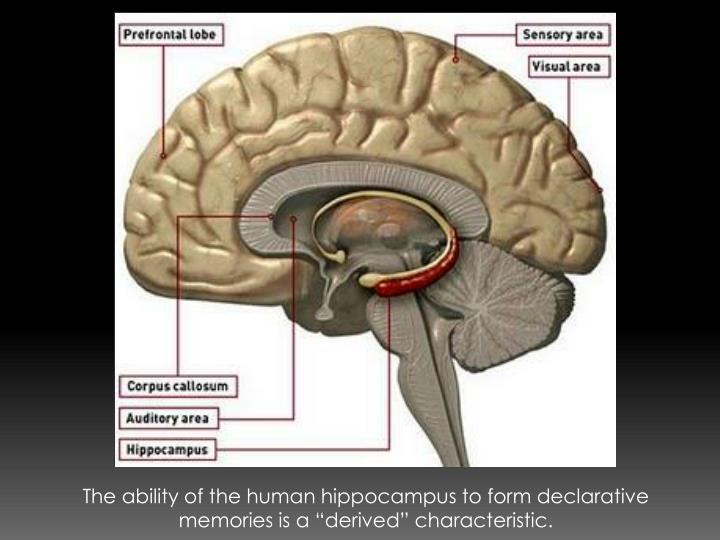 """The ability of the human hippocampus to form declarative memories is a """"derived"""" characteristic."""