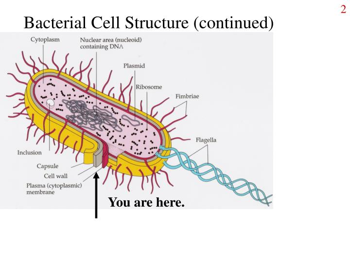 Bacterial cell structure continued