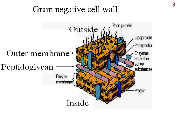 Gram negative cell wall