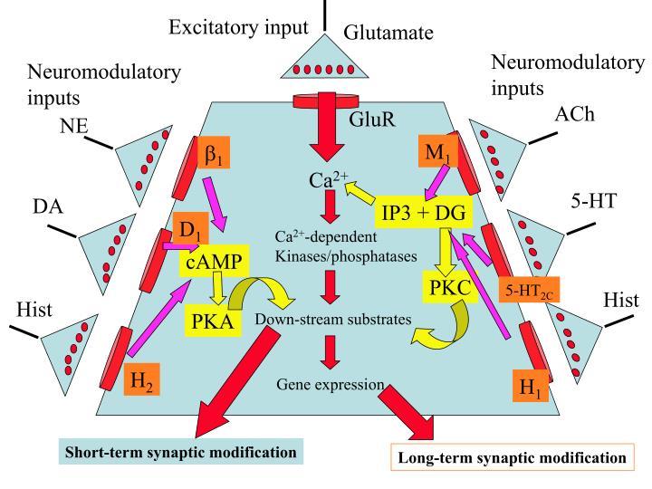 Excitatory input