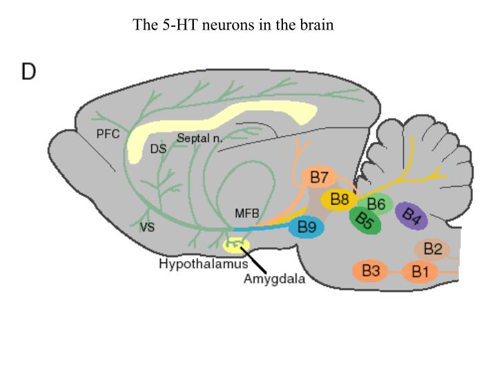 The 5-HT neurons in the brain