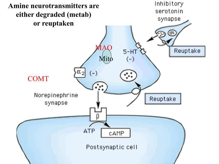 Amine neurotransmitters are