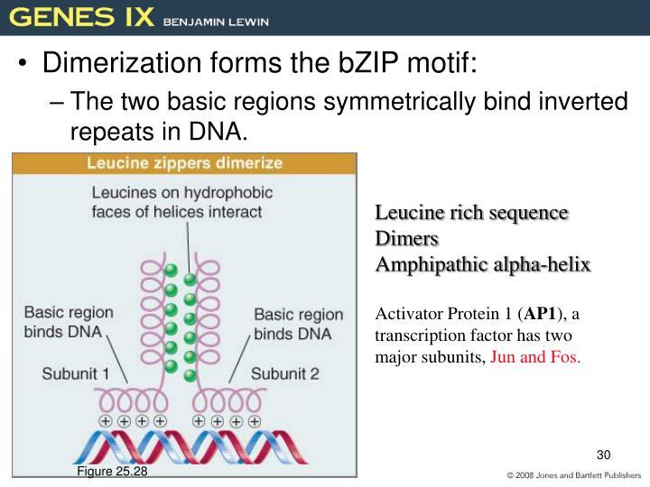 Dimerization forms the bZIP motif: