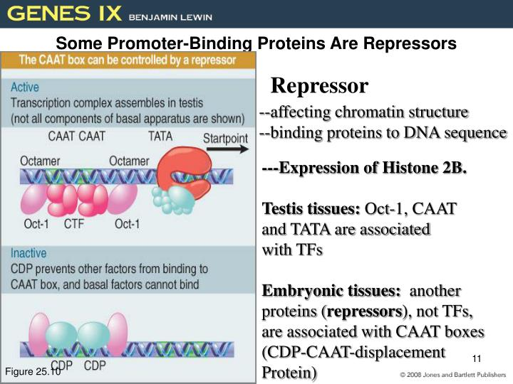 Some Promoter-Binding Proteins Are Repressors