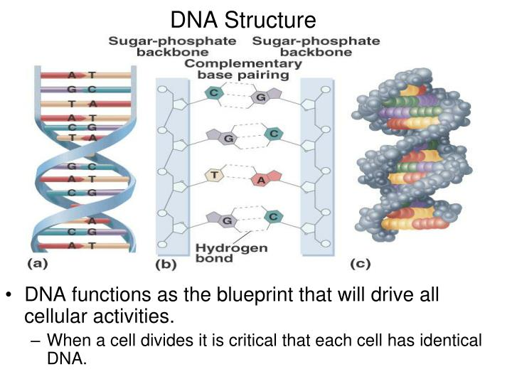 Ppt dna structure powerpoint presentation id6637183 dna structure malvernweather Image collections