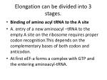 elongation can be divided into 3 stages