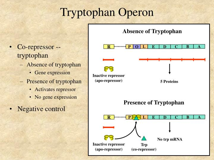 Absence of Tryptophan