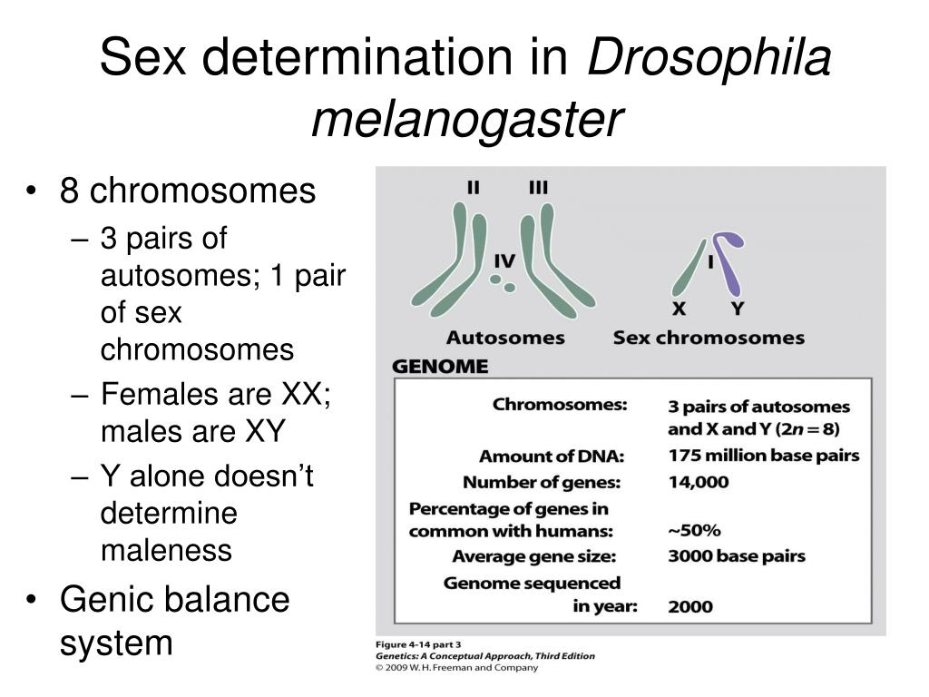 sex determination and sex chromosomes pptx in Whyalla